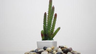 Pěstování kaktusu